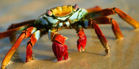 A close up look of the Sally Lightfoot Crab.
