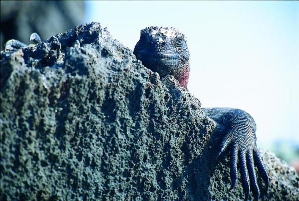 A Marine Iguana peeks over a rock.