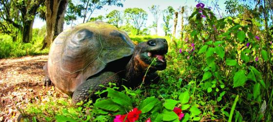 A Giant Tortoise munches on some local foliage.