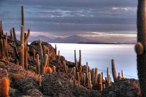 Giant cacti on Incahuasi island in the Salar de Uyuni salt flat