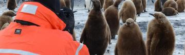 Traveling taking pictures of king penguin chicks.