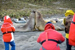Travelers watch while male elephant seals fight for their territory.