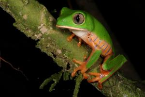 A tree frog in Madidi National Park at Chalalan Ecolodge