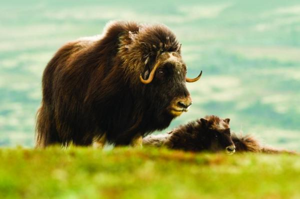 A musk ox and her calf relax on the arctic plains.