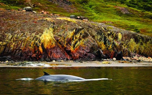 The White-Beaked Dolphin swimming by the Greenland coast.