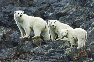 Polar bears climb up a rocky slope.