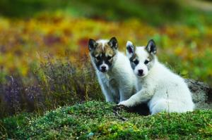 Pups hang out in the arctic tundra.