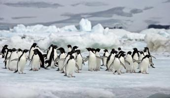 A penguin colony hanging out on the ice.