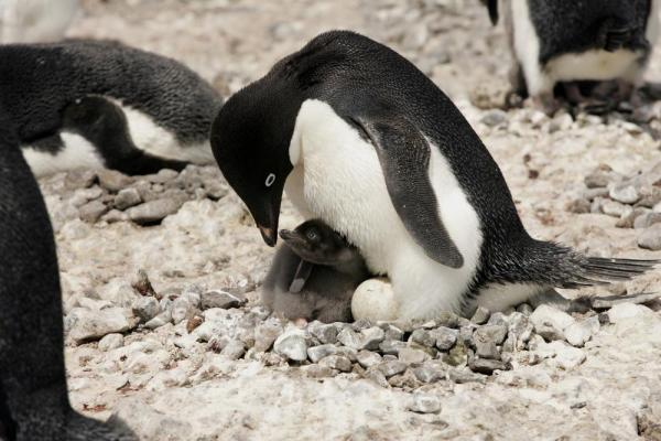 An Adelie Penguin protecting her new born.