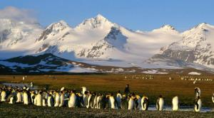 King Penguins at the base of a snow covered mountain range.
