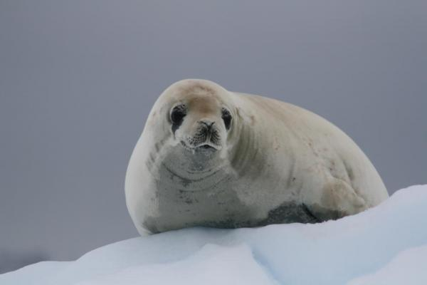 A seal sits on snow.