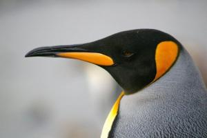 The incredible and unique beauty of the King Penguin.