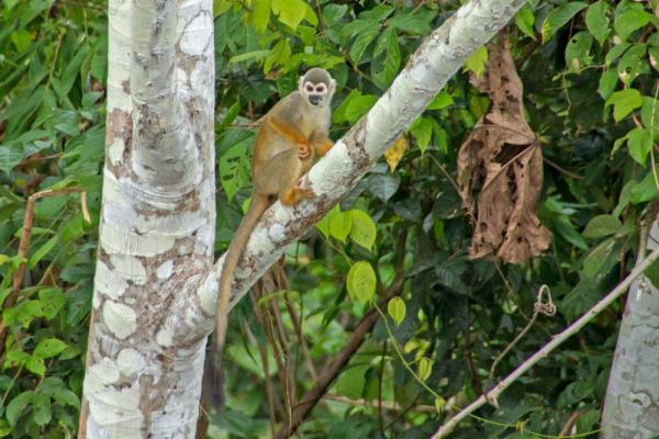 A Squirrel Face Monkey watches from high in a tree.