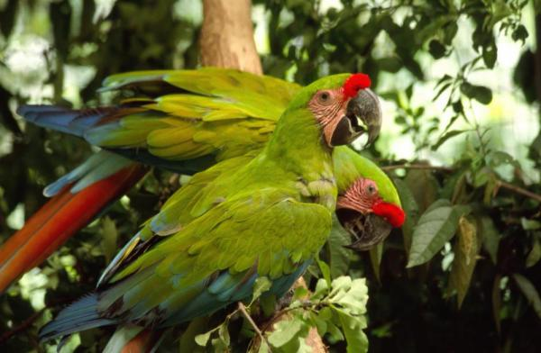 Two beautiful parrots are perched in a tree.