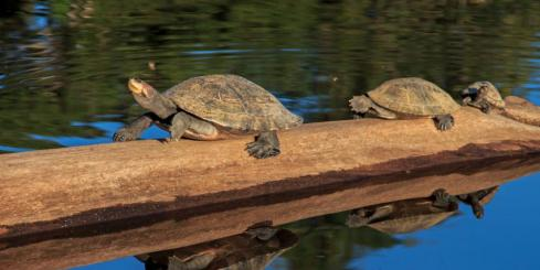 Three turtles hitch a ride on a log down the river.