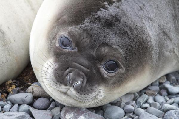 A close up of an Elephant Seal.