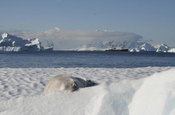 A seal sleeping on a mound of snow.