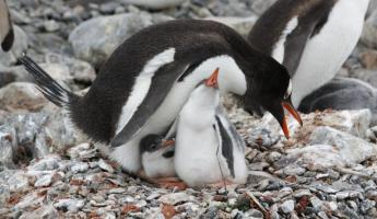 A penguin watches over her babies.