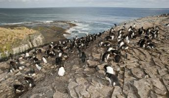 Rockhopper penguins hanging out on the rocky coast.