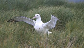 An Albatross in the grass.