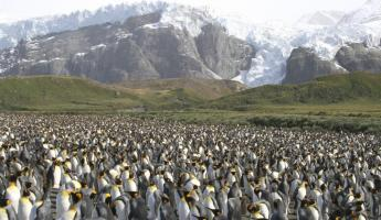 A large colony of King Penguins.