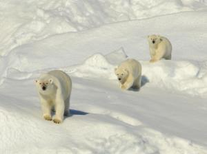 A group of polar bears make their way through the snow.