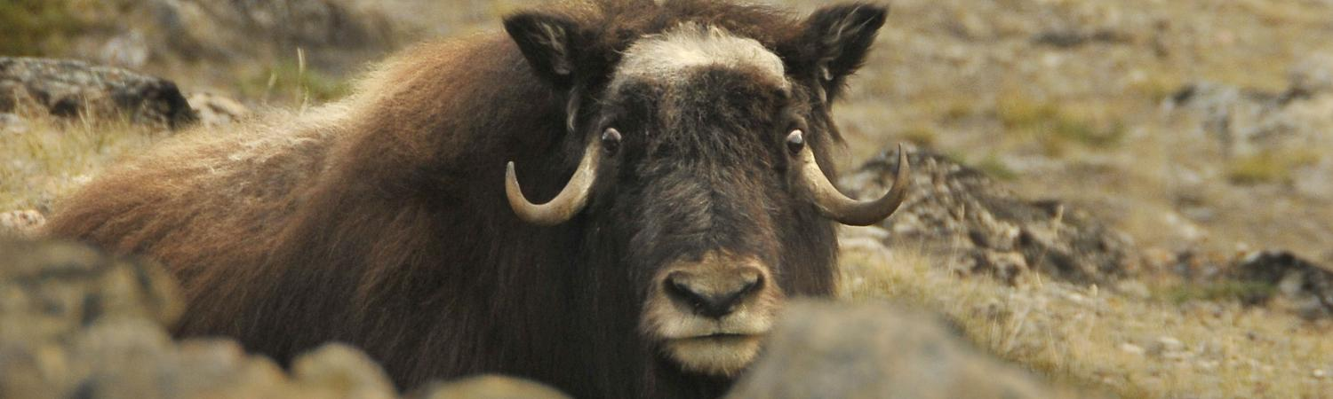 A Musk Ox stares at the camera from the tundra.