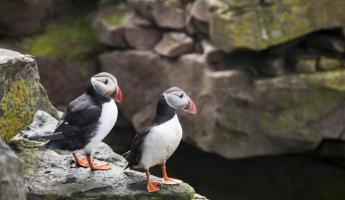 Puffins hang out on the rocks.