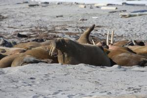 Walruses playing around on the beach.