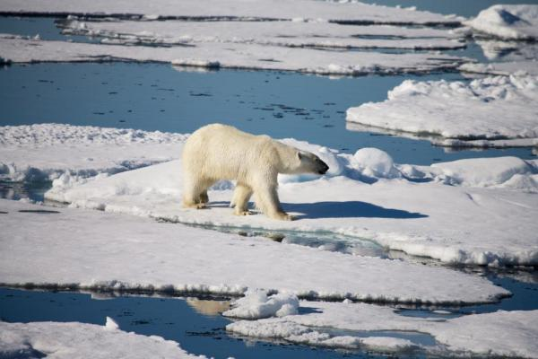 A polar bear walks across the arctic landscape.