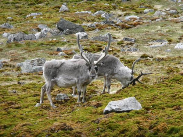 Reindeer feeding in the arctic.