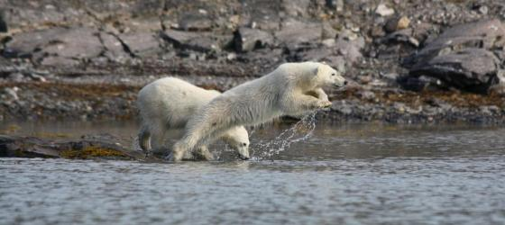A polar bear jumps into the arctic water.