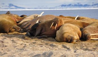 A group of walrus rest on the sand.