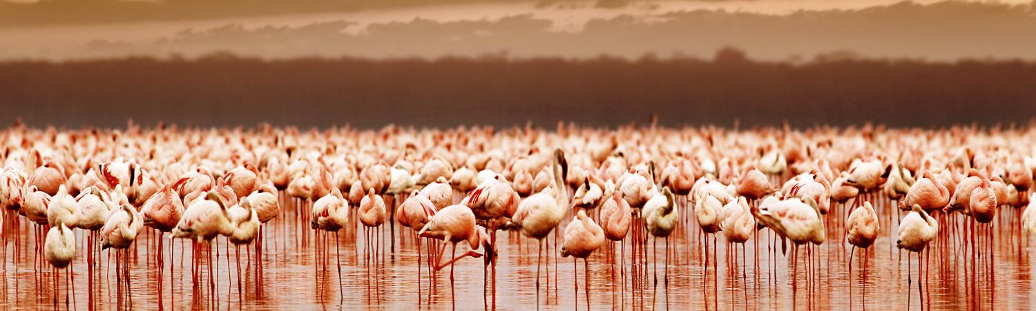 A flock of flamingos creates a pink reflection on the water