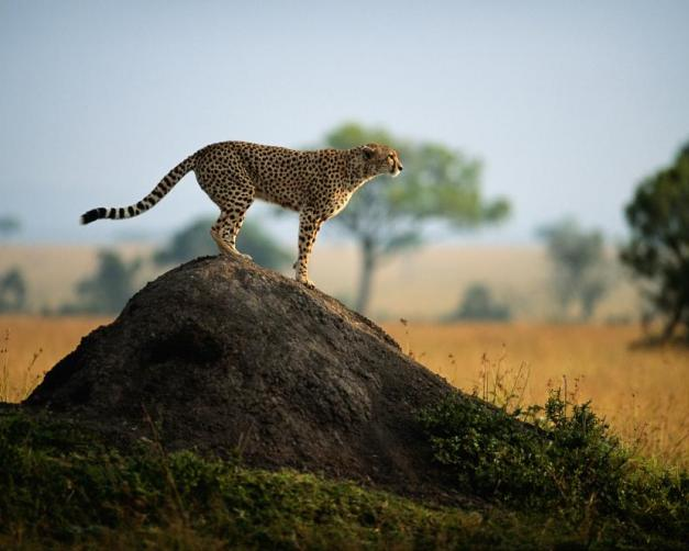 A cheetah scouts for prey