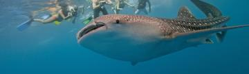 Snorkelers interacting with a friendly whale shark.