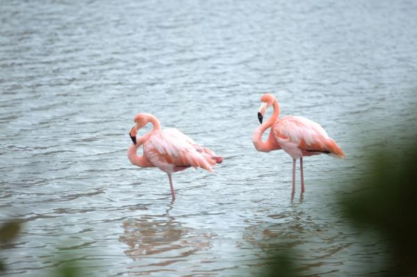 Two Flamingos stand in the calm water.