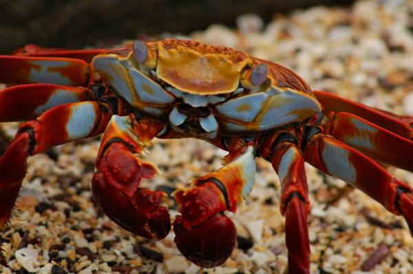 A Sally Lightfoot Crab stands on the rocks.