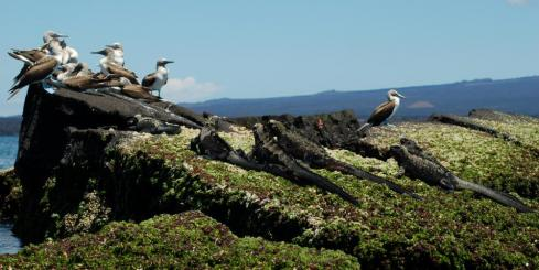 A group of Blue-footed Boobies sit on the rocks next to a group of iguanas.