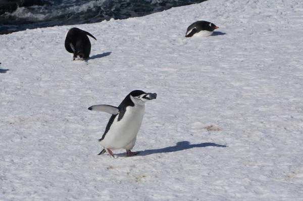 A penguin races across the snow with its prized pebble