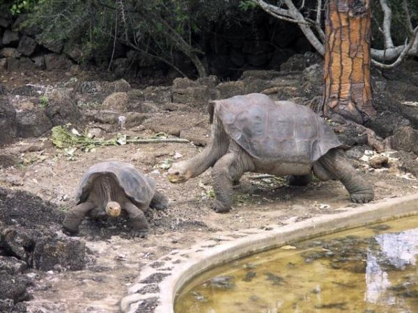 The late Lonesome George trying to be young again, Santa Cruz Island