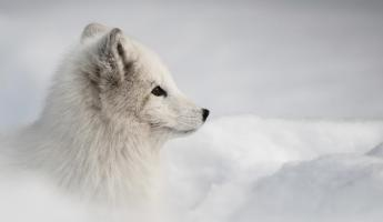 An Arctic fox gazes across the lanscape