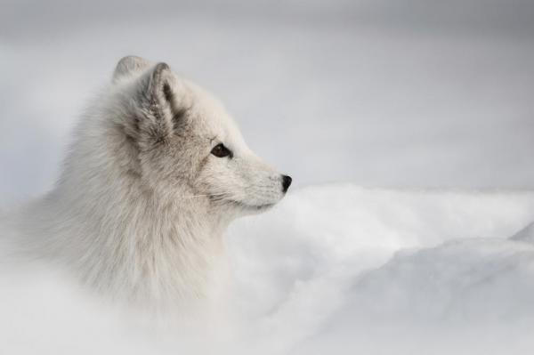 An Arctic fox gazes across the landscape