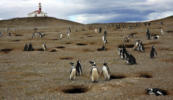 Interact with Magellan Penguins on Magdalena Island