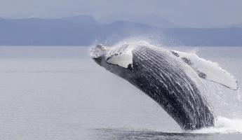 A humpback whale breaches from Alaskan waters