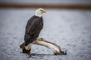 A bald eagle rests off the shore