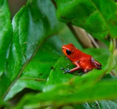 A Poison Dart Frog sits on a bright green leaf.