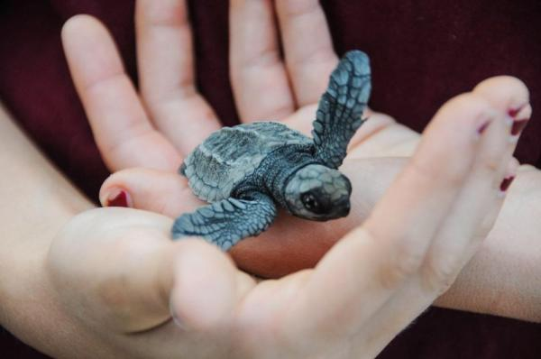 A person hold a little baby turtle in their hands.