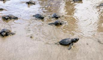 An abundance of baby sea turtles make their way back to the ocean.