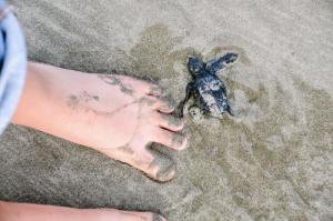 Gadge the size of this baby sea turtle wandering the beach.